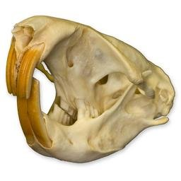 Gopher Skull (Natural Bone Quality A)
