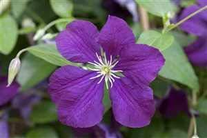 Clematis viticella 'Etoile Violette' Waldrebe Kletterpflanze im Topf gewachsen (60-100cm)