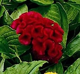 30+ Celosia Red Cockscomb Flower Seeds/Reseeding, Long Lasting Annual - Garden Green Seeds
