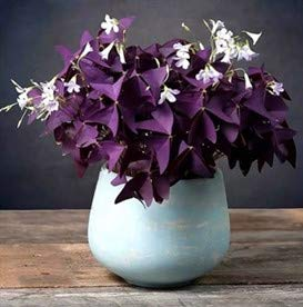 Oxalis Triangularis - Purple Shamrock Bulbs - Easy to Care of - Best Potted Plants Bulbs (10)