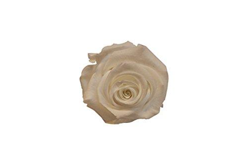 Verdissimo-Mini Amour e.25 Rose 35 cm Blanc