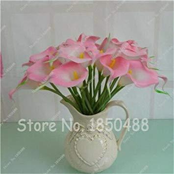 Multi-couleur Calla Fleur vrai Calla Lily Graines d'amour élégant Noble Symbolise Graines de fleurs de plantes d'intérieur Bonsai Balcon Fleur-50 7