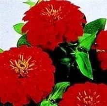 Zinnia - Dreamland Scarlet F1-10 Seeds