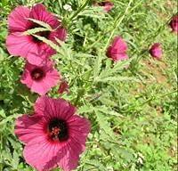 Max 63% OFF Elwyn kenaf Hibiscus red Seeds Flower At the price