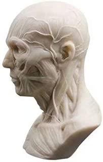 Global-Dental Human Model Anatomy Skull Head Muscle Bone Medical Model Mini Size