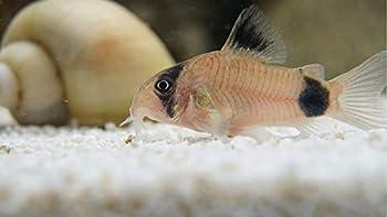 5 Panda Corydoras Panda Corycats Cute Freshwater Aquarium Catfish