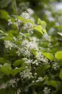 Clematis vitalba Waldrebe Kletterpflanze im Topf gewachsen (40-60cm)