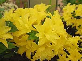 Rhododendron mixtum Sonnenköpfchen - sommergrüne Azalee Sonnenköpfchen