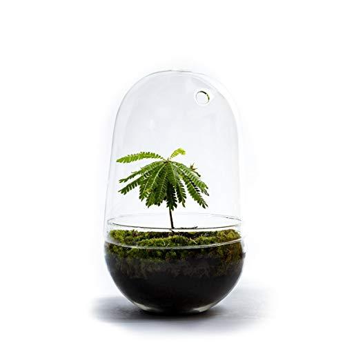 DIY Flaschengarten von Botanicly – Biophytum Sensitivum in ovalem Biotopglas