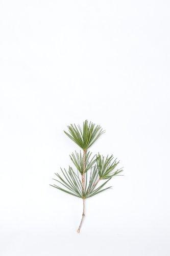 高野槇 コウヤマキ 切り枝 40cm 1本 仏花 アレンジ用 高野山の霊木 仏壇 お供え