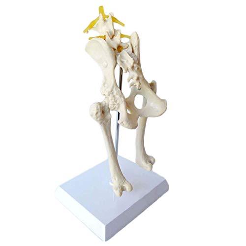 BBYT Perro Canina Cadera Articulación Esqueleto Modelo Anatómico Anatomía Nervio de la...