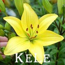 Nouvelle arrivée 2015 !! 50 graines 24 Couleurs New Lily Plantes bonsaï intérieur graines parfum de lys graines de fleurs de lys Pour Garden Home