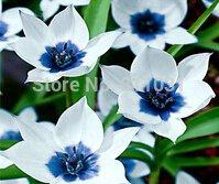 (50 pièces / lot) semences Gloriosa marguerite, Callalily commune, saisons de plantation, les plantes à fleurs
