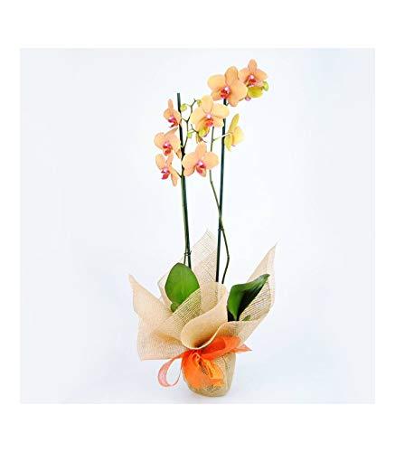 Personaliza tu dedicatoria. Escoge día de entrega Haz tu pedido antes de las 13h y recíbelo al día siguiente Orquídea Natural de color Naranja Phalaenopsis Naranja, 70cm de altura y 12cm diámetro de maceta.