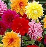 (2) Beautiful Flowering Blooms Dahlia Decorative Mix Bulb/rhizome/root/plant Perennial