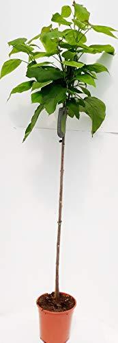 Kugel-Trompetenbaum, Catalpa bignonioides Nana, 170-180 cm + Dünger