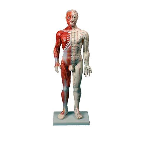 Erler Zimmer Chinesische Akupunkturfiguren, mit Muskeln, Meridiane, Nerven 60x19x9cm, Gewicht 1,9 kg