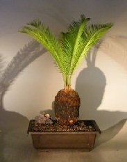 Sago Palm Bonsai Tree (cycas revoluta)