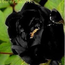 10 pcs/sac graines de pivoines Terrasse Cour Jardin Paeonia Suffruticosa Graines de fleurs vivaces plantes en pot pour le jardin de la maison 8
