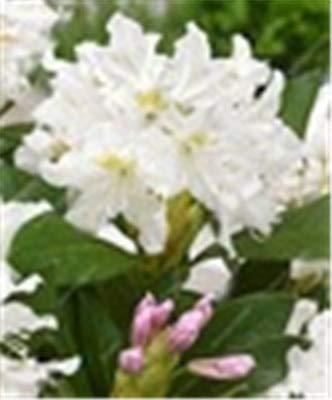 RETS 100 PC/Bag Japanische Azalee Bonsai, Rhododendron Azalea Außen Blumen Bonsai-Baum Sämling Pflanze Hausgarten einfach zu wachsen: 8