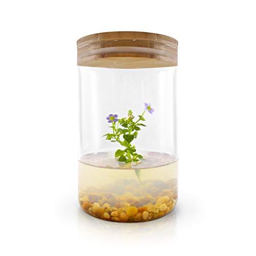 Persian violet in small terrarium