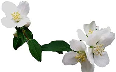 Sweet Mock Orange - Shrub - Healthy Established Roots - Gallon Potted - 1 Plant by Growers Solution
