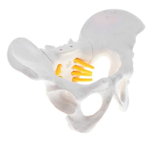 ZJM Mini-Beckenmodell Für Frauen, Medizinisch-Anatomisches Beckenstrukturmodell Mit Spinalnerven, Spinal- Und Steißbeinnerven, Für Medizinische Ausbildungshilfen