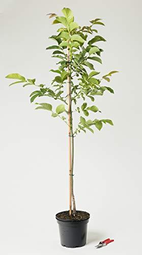 Walnußbaum - Juglans regia 100-125 cm hoch - Garten von Ehren