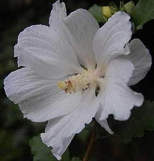 Hibiscus syriacus Snow Drift | White Rose of Sharon | Shrub Althea | 20_Seeds