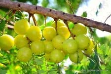 HYLLANTHUS Emblica grosella espinosa india amla árbol frutal exótica rara semilla 5 Semillas