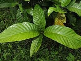 Dichondra 5pcs New life Ranking TOP9 Alibertia Patinoi Seeds BoRoJoa Fruit
