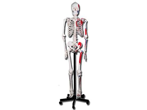 Gima - Menschliches Muskelskelett-Modell, Value-Linie, mit beweglichen Gelenken und abtrennbaren Gliedern, für Ausbildung, Praxen und Studenten, H 180 cm