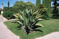 Agave FEROX, Jahrhundert-Pflanze Hardy Exotische Sukkulenten Big Aloe Rare Samen 100 Samen