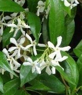 Indoorbonsaiandexotics Confederate Jasmine Trachelospermum Jasminoides Gallon