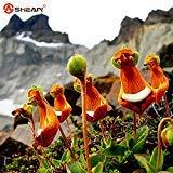 Plantes Nouvelle arrivée Calceolaria UNIFLORA Seeds Vivace Floraison Graines en pot Plantes Intéressant 100 particules / lot