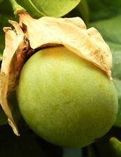Passiflora Maliformis, Passion Douce Fleur calebasse Fruits comestibles Graines 10 Graines