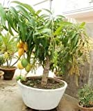 Creative Farmer Live Dwarf Plant Mango Fruit Himsagar King of All Mangoes Plant