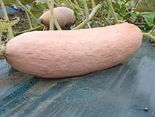 seed kingdom Squash Pink Banana Jumbo Garden Heirloom Vegetable Seeds (100 Seeds)