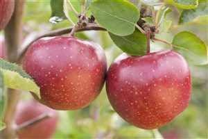 Apfelbaum ObstbaumMalus domestica 'Jonagold' 150-200cm im Topf gewachsen