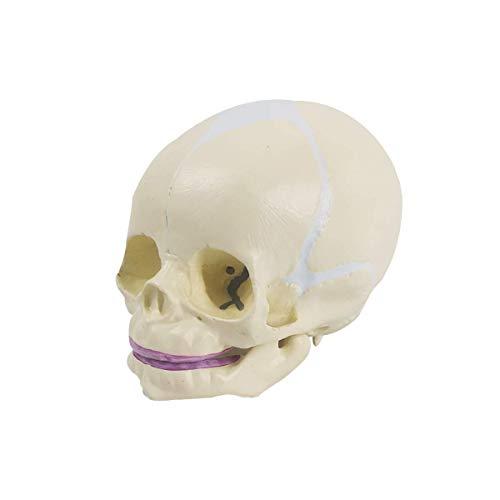 Human Infant Skull Model, Life Sized Fetus Skull, Anatomy Baby Skull Model for Medical Teaching Learning, Kids Learning Education Display Tool, Hand Painted