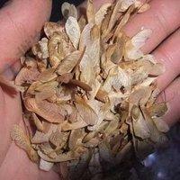 Graines Bonsaï. 10PC Rare Seed Blue Sky Maple. Plantes Balcon