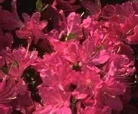 Azalea japonica Rubinetta - 25-30 cm