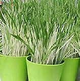 Hordeum Variegated Cat Grass 500 (KKZ) Seeds