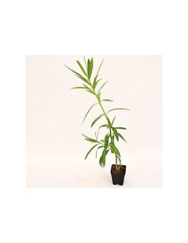 3x Piante di Oleandro vaso 7 cm