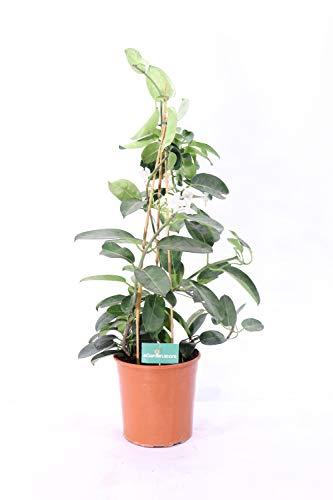 pianta di Stephanotis o gelsomino del madagascar da esterno o interno v17