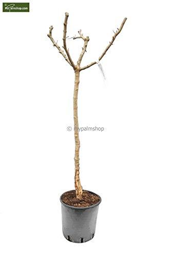 Punica granatum Dente di Cavallo - Winterharter Granatapfelbaum - verschiedene Größen (120-140cm Stamm 70-80cm Topf Ø 28cm)