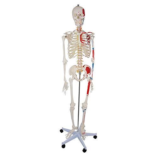 HeineScientific menschliches Skelett mit aufgemalten Muskelansätzen, Abmessungen: 177 x 39 x 28 cm