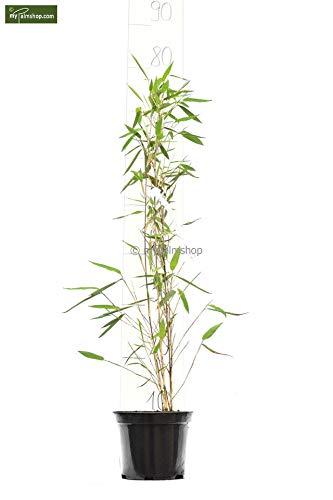 Fargesia nitida Black Pearl - Hybride - Heckenbambus - verschiedene Größen (70-90cm - Topf 1 Ltr.)