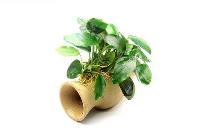 Dekoimtrend Wels Amphore mit Anubias Nana Wasserpflanze Aquarium Aquariumpflanze