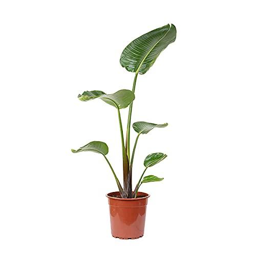 Zimmerpflanze – Paradiesvogelblume – Höhe: 80 cm
